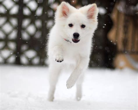Cute White Puppies Wallpaper American Eskimo Dog Hd Wallpapers High Definition Free Background