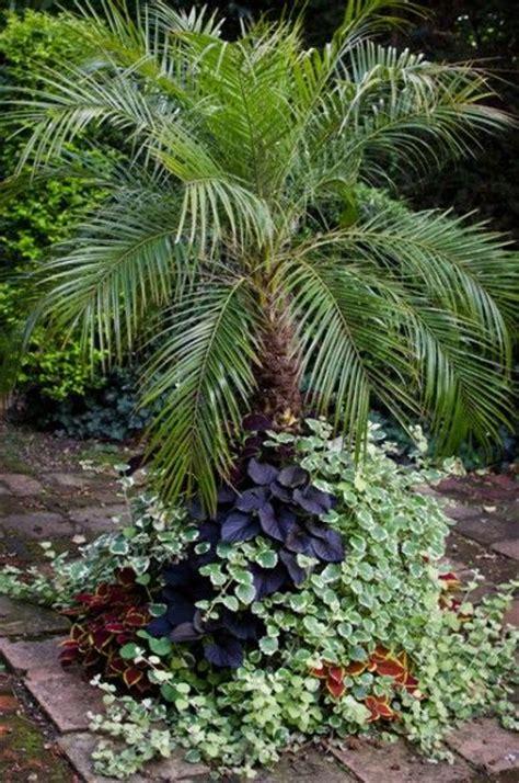 large container   specimen pygmy date palm phoenix