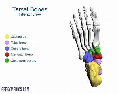 Bones Foot Tarsal Inferior Bone Metatarsal Geeky