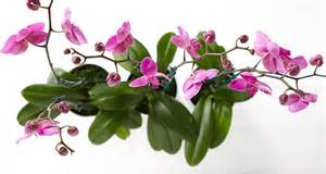 Common Christmas Tree Types by A Useful And Unique Orchid Care Tip Proflowers Blog
