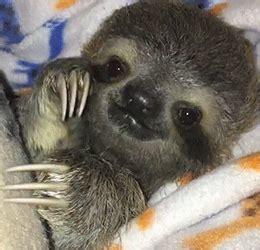 sloth animal tumblr