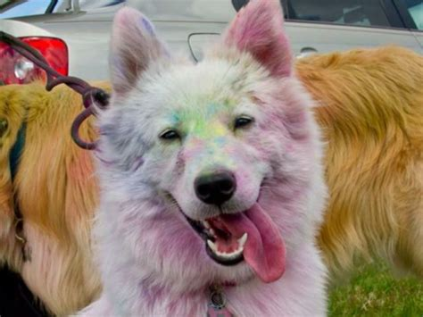 do samoyeds shed more than huskies malamute vs husky vs samoyed www pixshark images