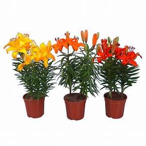 Lilie Topfpflanze Kaufen : lilien kaufen bei obi ~ Lizthompson.info Haus und Dekorationen