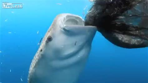 whale shark sneaking  food tracking sharks