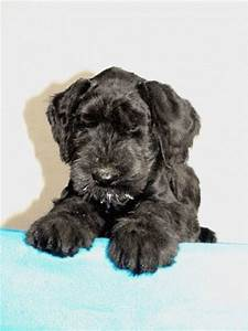 Gently Born - Giant Schnauzers and Toy Poodles Kennel ...