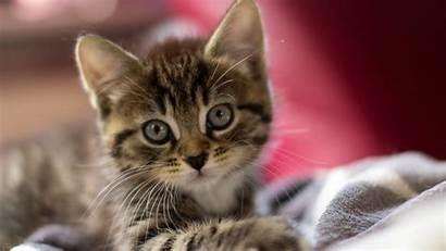 Kitten Desktop Kittens Wallpapers