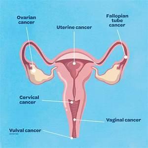 Wiring And Diagram  Diagram Of Uterus And Cervix