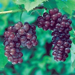 Red, White & Blue Grape Vine Collection - Stark Bro's