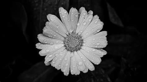 black and white black and white camomile desktop background hd 2560x1440