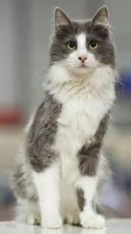 turkish angora cats turkish angora gray and gray and white cats