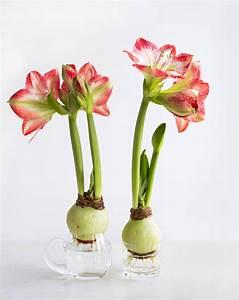 Amaryllis Im Glas : blumenzwiebeln im glas sorten und merkmale ~ Eleganceandgraceweddings.com Haus und Dekorationen