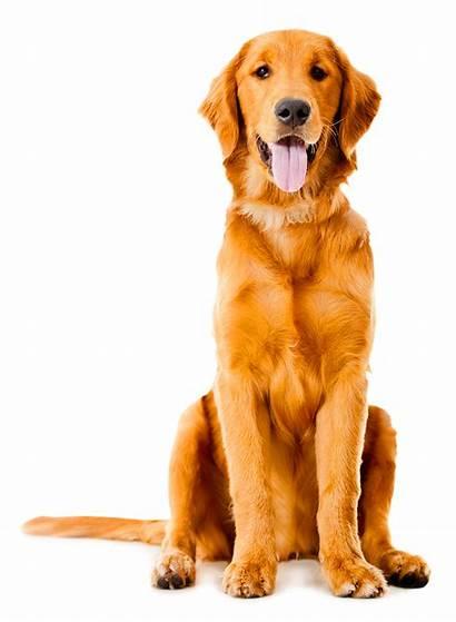 Transparent Golden Sitting Shepherd German Labrador Dog