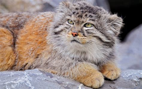 100 Hd Wallpapers Of Wild Cats  Wallpapers Recipeapart