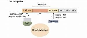 Can U Explain Lac Operon Concept Biology Molecular Basis Of Inheritance
