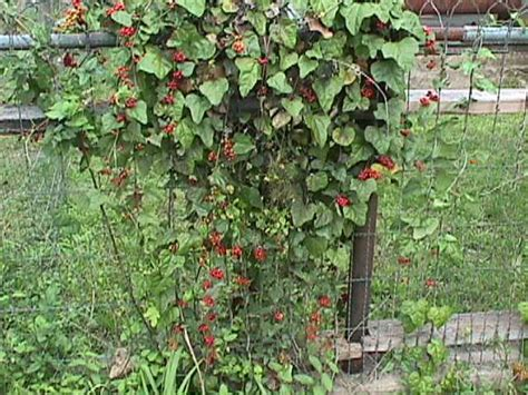 Flowering Climbing Vines In Texas, Climbing Vines Texas In