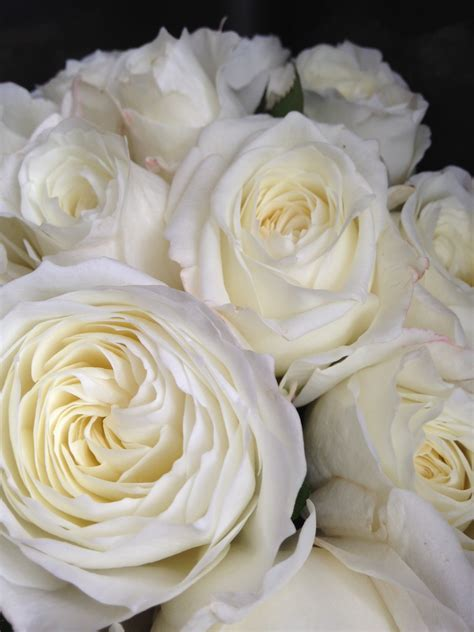 white garden roses new garden roses in store today wild at heart wild at heart