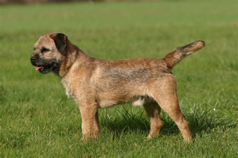 Border Terrier Non Shedding by Border Terrier Breed Information Buying Advice
