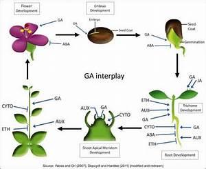 Plant Hormones Gibberellin | www.pixshark.com - Images ...