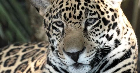 Jaguars Moving by Saban The Jaguar Moving From Brevard Zoo To Jacksonville