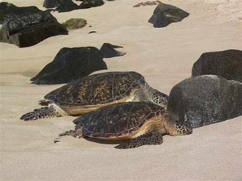 do turtles shed their shells besides subjects in sea mail has writing topics