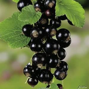Schwarze Johannisbeere Pflanzen : beerenstr ucher baumschule pflanzen gro e pflanzen und b ume ~ Frokenaadalensverden.com Haus und Dekorationen