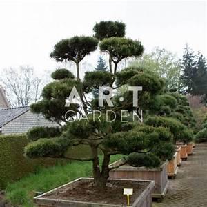 Arbre En Nuage : arbre nuage pour ext rieur bonsa nain pinus mugo mughus ~ Melissatoandfro.com Idées de Décoration