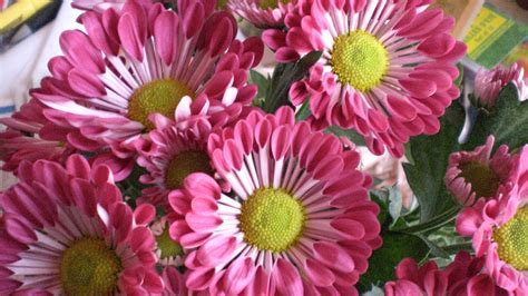 Fall mums: Do they survive the winter? What are the flower ...