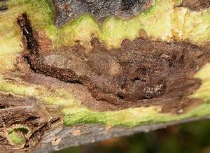 Study  Fungus Behind Deadly Disease In Walnut Trees Mutates Easily  Complicating Control