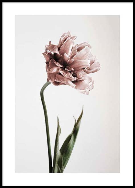 Bild Als Poster by Botanik Poster Mit Rosa Tulpe Bei Desenio