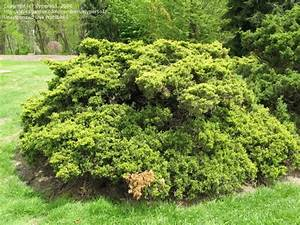 PlantFiles Pictures: Chinese Juniper 'Old Gold' (Juniperus ...