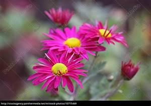 Dendranthema Hybride Balkon : gartenchrysantheme dendranthema grandiflorum hybride ~ Lizthompson.info Haus und Dekorationen