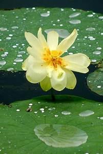 Aquatic Plant: Lotus Aquatic Plant