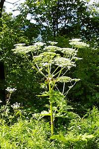 The Menacing Giant Hogweed - Life in the Finger Lakes