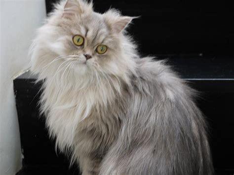 Persian cat characters