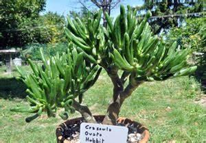 Plante Succulente Espèces Représentatives : crassula ovata hobbit plante succulente plante grasse ~ Nature-et-papiers.com Idées de Décoration