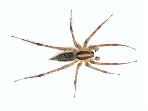Garden Spider Toxicity by 1000 Ideas About Spider Identification On
