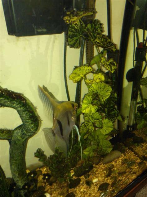 brown fuzzy algae  aquarium club