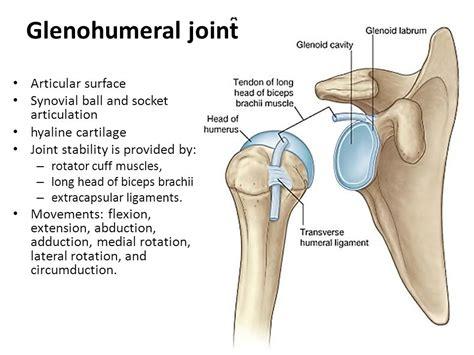 Glenohumeral-joint-shoulder-joint-shoulder-bone-framework