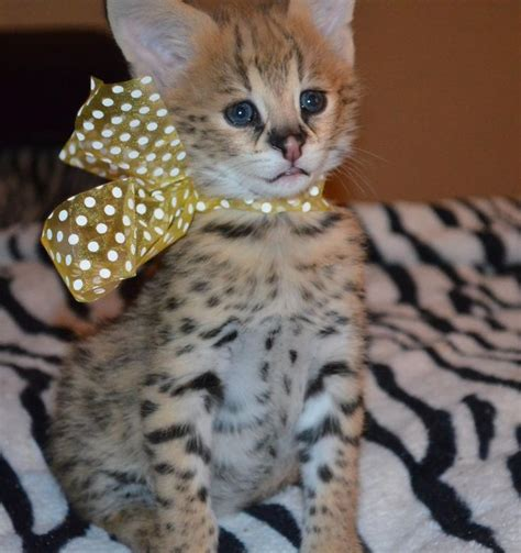 25+ Best Ideas About Serval Kittens For Sale On Pinterest