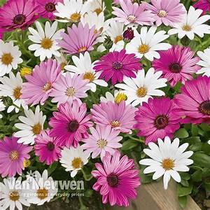 Osteospermum  U0026 39 Hardy Collection U0026 39
