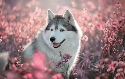 Husky Wallpapers Dog Puppy Grey Flowers Field