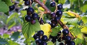 Schwarze Johannisbeere Pflanzen : schwarze johannisbeere pflanzen pflegen und ernten mein ~ Lizthompson.info Haus und Dekorationen