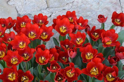 Foto: Uzziedējušas šķirnes 'Latvija' tulpes   Tulips ...