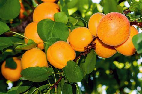 Dwarf Storey's Apricot   PlantNet® Australia