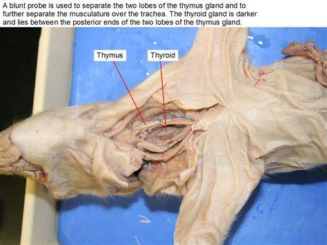 Flashcards  Fetal Pig Dissection  Dorsal Ventral Studyblue