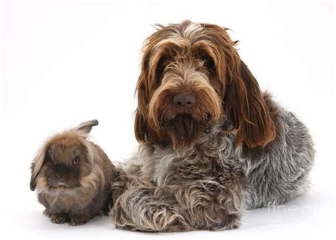 brown roan spinone photograph by