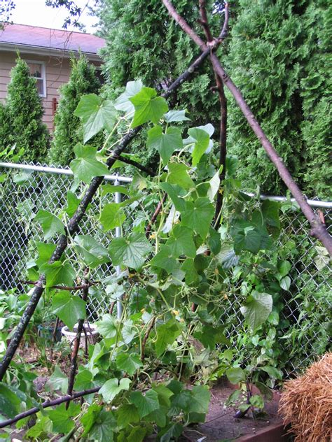 growing cucumbers on a trellis cucumbers growing on a trellis jimmy corn