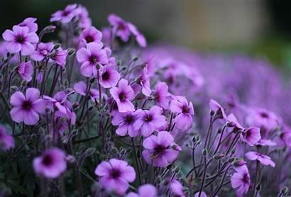 Violet Flowers Wallpapers Desktop