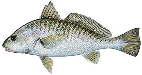 fish   day atlantic croaker