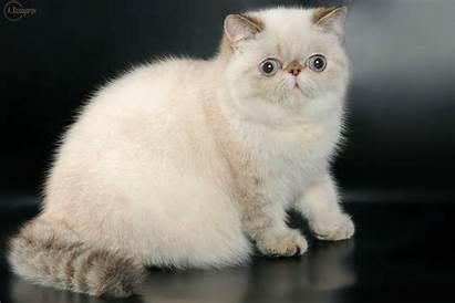 Exotic Cat Shorthair Breeds Breed Kittens Short